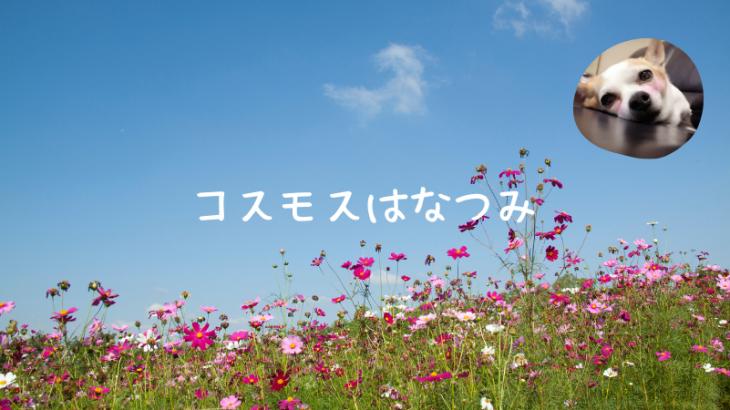 秋桜(コスモス)花摘み